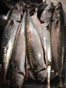 Geangelte Makrelen aus Hvide Sande